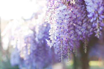 Fotomurales - Wisteria flowers are blooming in sunset garden. Beautiful flowering tree blossom in spring. Japanese park.