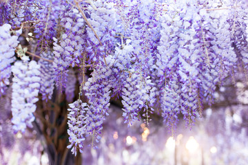 Fotomurales - Flowering wisteria tree blooming in sunset garden. Beautiful wisteria trellis blossom in spring. Japanese park and flowers tunnel.