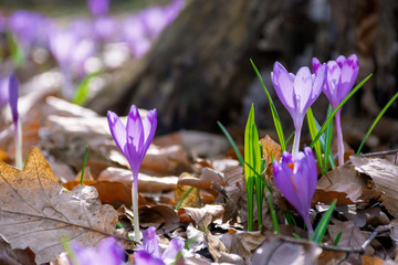 crocus flower near the stump in the forest. beauty of wild purple blooming in springtime