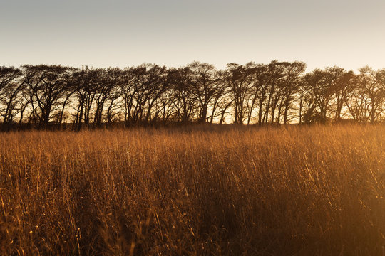 """Switchgrass (Panicum virgatum)  and """"bald cypress"""" trees (Taxodium distichum) in winter at sunset in Cibolo Nature Preserve in central Texas near Boerne"""