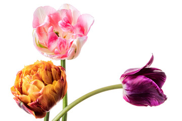 Three different colorful tulips isolated on a white background