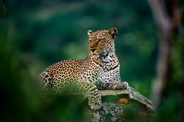 Acrylic Prints Leopard African leopard resting on rock hidden in bush. Amazing leopard in the nature habitat. Wildlife scene from Samburu National Reserve, Kenya, Africa. Panthera pardus pardus.