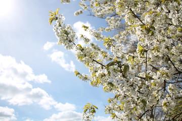 cherry tree spring panorama blossoms sky pink