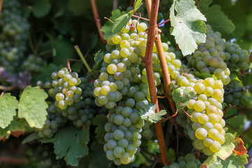 White grapes on a vine in the vine. Close up. Sunny autumn day