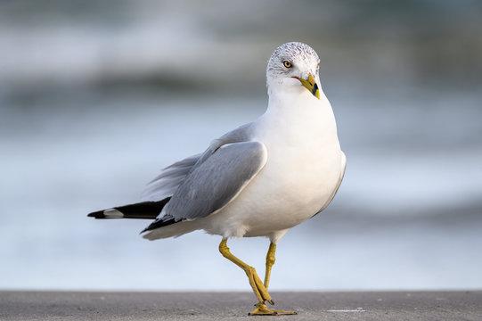 Ring Billed Gull on the Gulf Coast