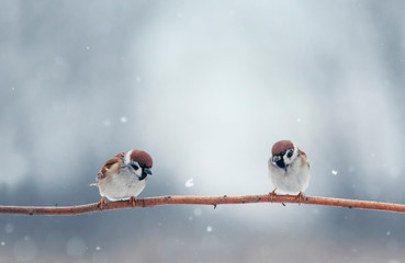 Wall Mural - natural background with two little funny little birds sitting on a branch in the winter garden under the snow