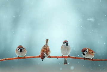 Wall Mural - natural background with four little funny little birds sitting on a branch in the winter garden under the snow