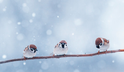 Wall Mural - three small funny little birds sit on a branch in the winter garden under the falling snow