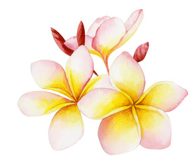 Watercolor illustration of a beautiful tropical exotic flower plumeria or frangipani.