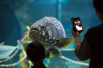 Grouper fish in an aquarium. A woman takes pictures of fish on the phone. The boy looks at the fish in the aquarium.