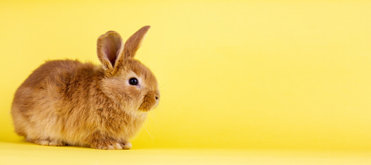 little easter lively rabbit on a yellow background. Red fluffy rabbit on a yellow background, banner picture.