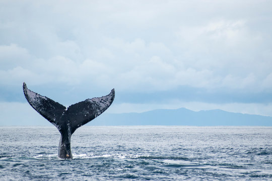 Humpback whale tail in the air sky background