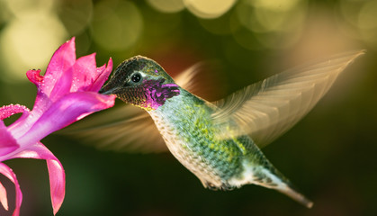 Male hummingbird with colorful feather