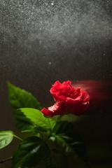 red hibiscus flower on dark background with water spray