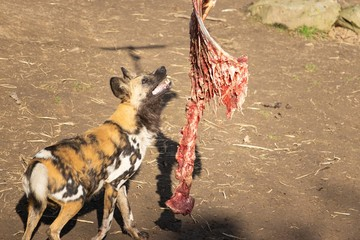 Closeup shot of feeding fresh meat to an African Wild Dog in a zoo Wall mural