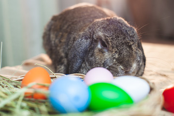 Cute Holland lop rabbit and easter eggs at easter festive