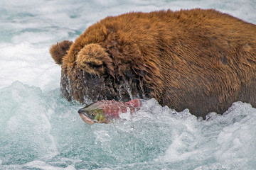Adult coastal brown bear snorkels for salmon while a fish surfaces right next to its head in river rapids.