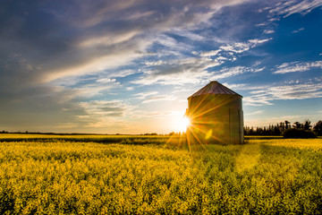 Zelfklevend Fotobehang Honing Sunset over a canola field and silo during summer on the prairie