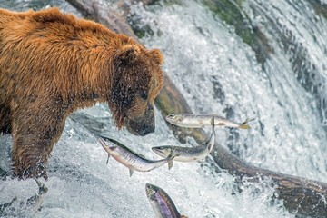 Adult coastal brown bear feeds on salmon as they make their way up and over waterfalls on route to the natal waters.