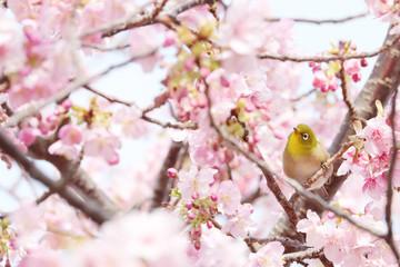 ピンク色の桜を花見するメジロの写真素材