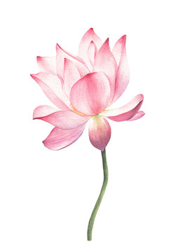 lotus flowers and leaves hand drawn watercolor on white
