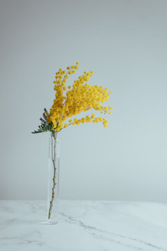 Mimosa branch in a transparent thin vase, a lot of free space white background, a card for International Women's Day