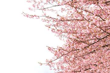 コピースペースのある満開のピンクの桜の花見写真素材