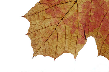 Norwegian maple autumn leaf structure with the contrast of backlight