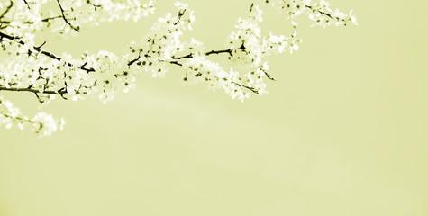 Zarte Blüten eines japanischen Kirschbaumzweiges in beige und cremefarben - Hintergrund mit...