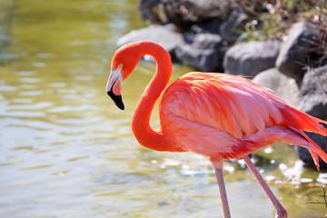 Stores à enrouleur Flamingo 朱赤とピンクの羽が綺麗なベニイロフラミンゴ