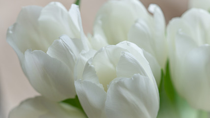 Foto op Canvas Tulp White tulips bucket macro photo.