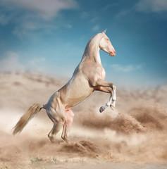 perlino rearing akhal-teke horse in desert