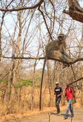 Vervet Monkey up a tree, with two local people walking along the patway below in Victoria Falls National Park, Zimbabwe
