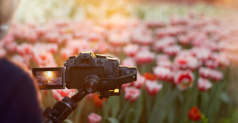 Tourist using digital camera to record tulip in the garden at twilight time