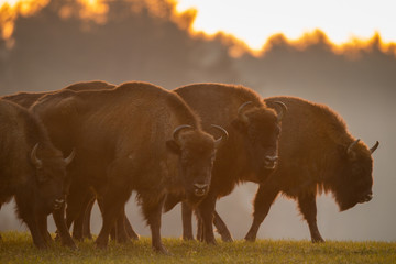Keuken foto achterwand Buffel European bison - Bison bonasus in the Knyszyn Forest (Poland)