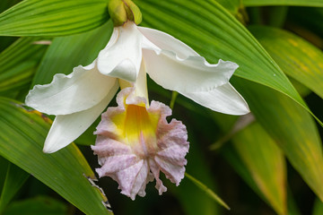 Sobralia mirabilis orchid blooming, with green leaves background