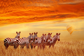 Wall Mural - Group of zebras in the African savannah against the beautiful sunset and balloon. Serengeti National Park. Tanzania. Africa.