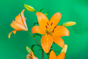 Orange lily flower blooming, with green background