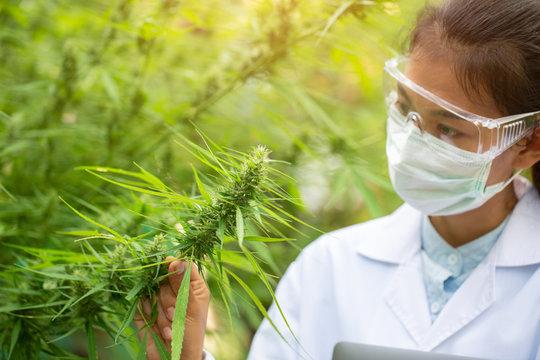 Female scientist in a hemp field checking plants and flowers, alternative herbal medicine concept, Marijuana research, cbd cannabis oil,   pharmaceptical industry.