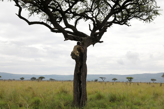 A Kenya Wildlife Service (KWS) ranger climbs a tree to look for black rhinos in the Ruma National park, Nyanza province