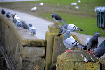 Pigeons gather around the lake at Cold Knap Barry waiting for breadcrumbs from locals on winter walks