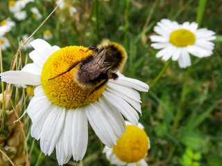 A beautiful macro picture of a Bumblebee extracting pollen from a daisy flower