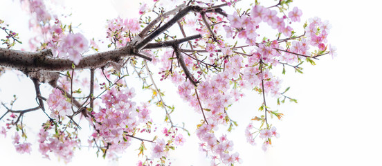 Papiers peints Fleur de cerisier 咲き誇る桜の花 河津桜 全景 白背景