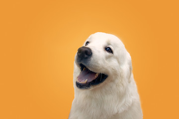 Horizontal image of an animal isolated on background in Studio. Dog looks at place your advertising or text.