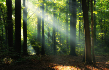 Beautiful sunrise in green forest Wall mural