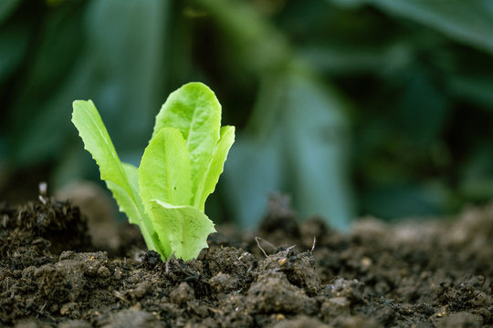 lettuce sprouting on cultivated land. organic farming concept