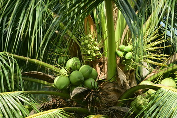 A view close to the coconut tree and green coconut