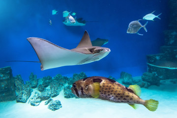 Stingrays and fish hedgehog are swimming on the blue sea near the underwater rocks and white sand.