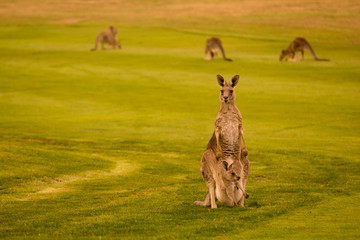 Poster de jardin Kangaroo Australian kangaroo with baby in a pouch.