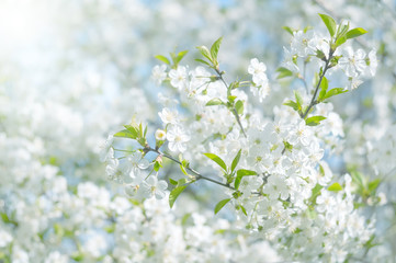 Obraz Cherry blossom in the sunlight. Beautiful delicate spring background. Flowering tree cherry. Selective soft focus. - fototapety do salonu